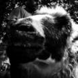 Trois jours avant la mort de Rémi Fraisse, le 23 octobre à l'aube, quelque part dans le Tarn, un troupeau de brebis quitte sa bergerie pour une transhumance hors norme jusqu'à la ZAD du Testet. Récit d'une solidarité animale et animée pour la lutte du Testet, en images et en murmures. Nombreux-ses sont celles et ceux [...]